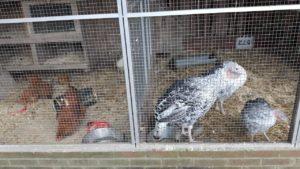 opgehokt-vogelgriep