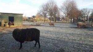 schaapjes in de winter